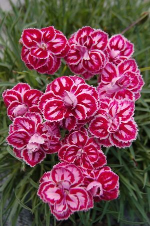 """Dianthus 'Starburst' - New variety for 2013. Unique pink and white pattern on the petals leaves no two blooms alike. Foliage mounds 5-7"""" and the flowers rise above. Zones 5-9"""