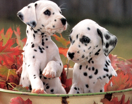 Best Dalmation Chubby Adorable Dog - 514a993b13826eb3e2c34adb6c3761b4--dalmatian-puppies-puppies-puppies  Perfect Image Reference_22294  .jpg