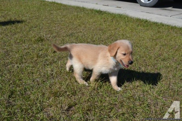 Golden Retrievers for Sale in Zephyrhills, Florida Classified | AmericanListed.com