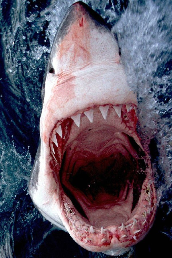 Great White Shark - South Africa | by: Brian C.
