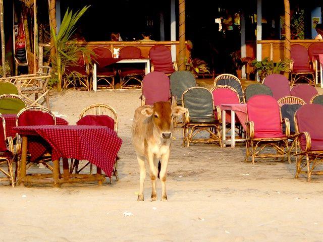 Vaca em praia de Goa - Índia