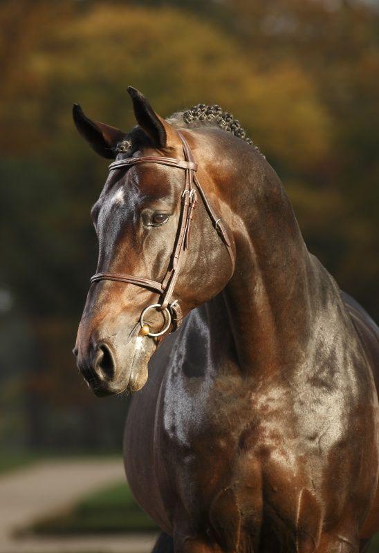 Hanoverian stallion, Cosinhus. <3
