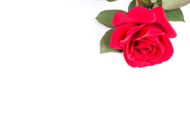 A single red rose from my garden on a plain white background.