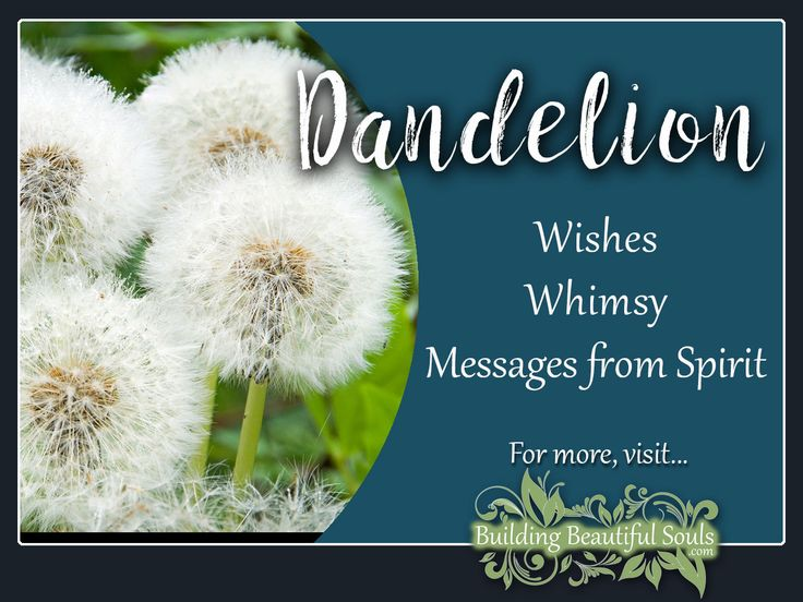 Dandelion is a powerful flower! Delve deeply into Dandelion Meaning & Symbolism! Get Dandelion Color Meanings, Spiritual Meanings & History! #dandelion #flowers #floriography #floweressence #nature #garden