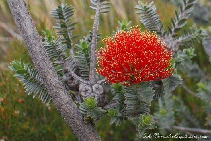 Western Australia Trip. Day 4. Wildflowers in Fitzgerald River National Park. Wildflowers | TheNomadicExplorers.com