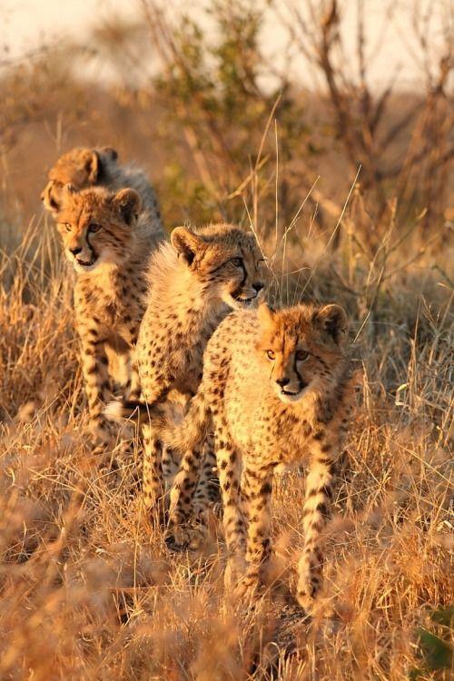 Mark Segal: Cheetah
