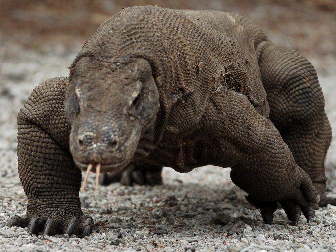 Komodo Island Tour - see the Komodo dragon in Komodo island Indonesia