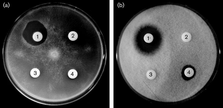 (1) Lysobacter antibioticus  (2) Lysobacter enzymogenes  (3) Lysobacter gummosus  (4) Lysobacter capsici  [000.004.990]