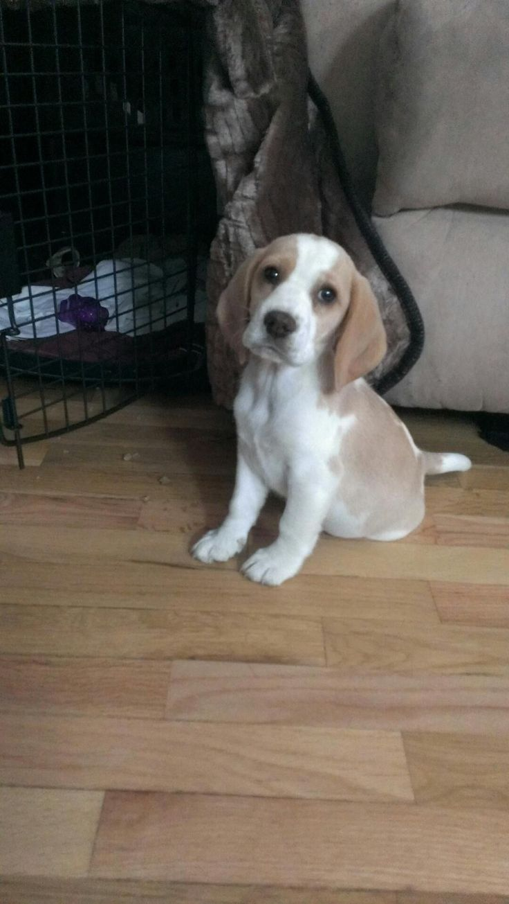 Lemon Beagle puppy