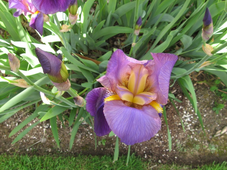 My Purple IrisPurple Iris