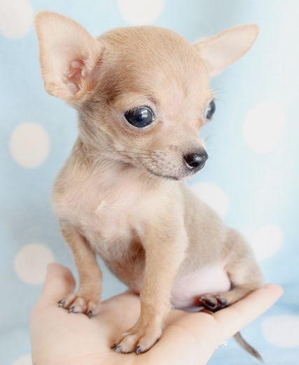 tiny chihuahua puppy by teacupspuppies.com