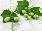 The Incredible, Mexican Sour Gherkin has small cucumber-like fruit are shaped like baby watermelons.