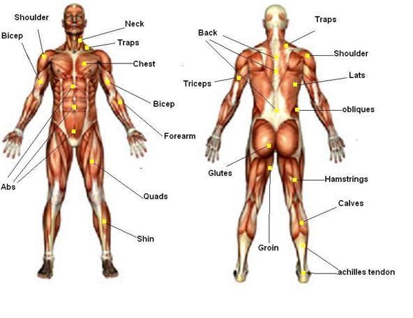 Мышцы, которые тренирует тренажер упоры для отжимания