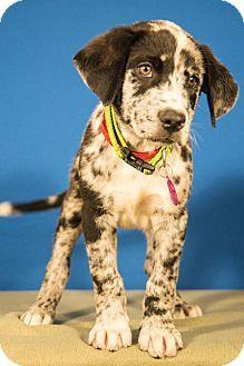 Berkeley Heights, NJ - Australian Shepherd Mix. Meet Brando a Puppy for Adoption.