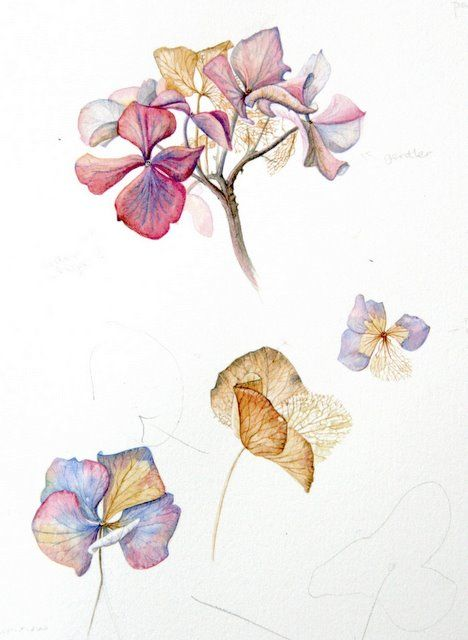 Drawn to Paint Nature: Hafod and Hydrangea