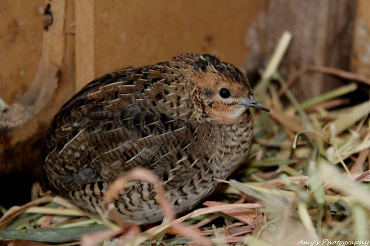 Beef the quail.