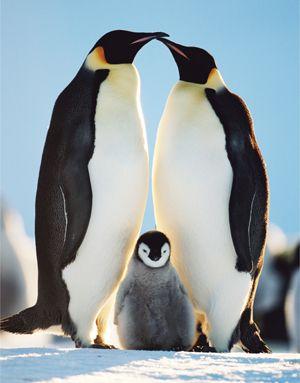 Emperor penguin | Emperor Penguin