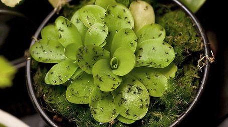 42 besten pflanzen insektenschutz bilder auf pinterest for Fliegen zimmerpflanzen