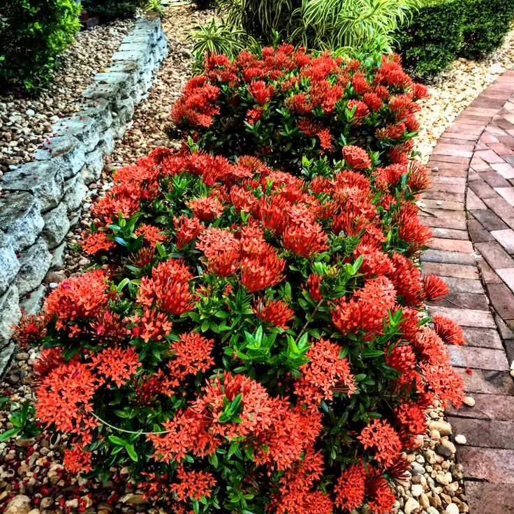Dwarf Ixora Is A Great Plant For Summertime Color