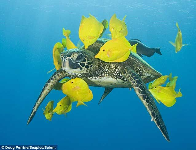 Peces ofrecen a criaturas marinas un servicio de limpieza - The real-life turtle wax: Fish offer sea creatures a swim-through valet service