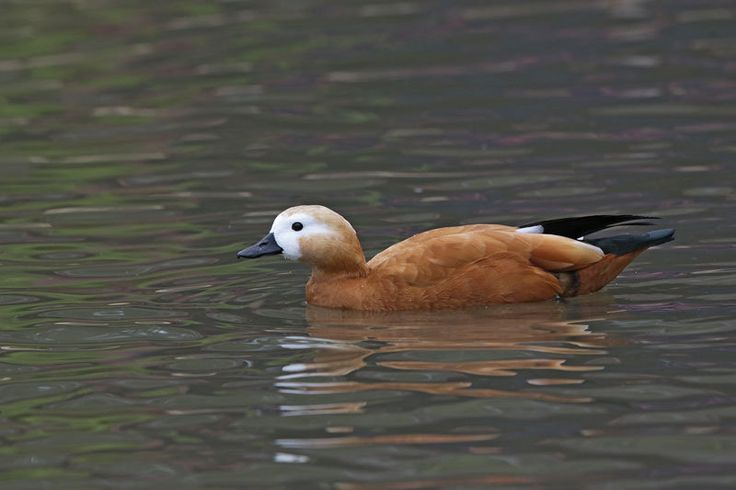 https://flic.kr/p/FkKuuE | Ruddy Shelduck | Slimbridge Wetlands, UK-1503