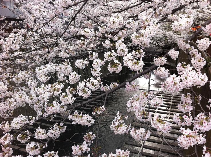 Taken early April 2012 along the Meguro River.