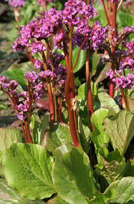 Purple bergenia