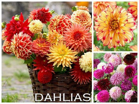 54 best images about color themes on pinterest colorful for Flowers that look like dahlias