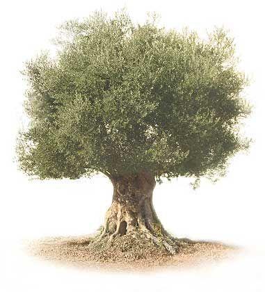 El árbol del olivo - Tendenzias.com