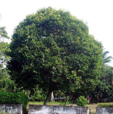 Pohon Peneduh untuk Taman Minimalis dan Halaman Kecil - Desain Lanskap
