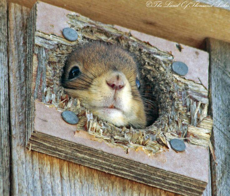 Orava linnunpöntössä.