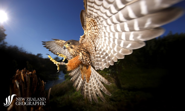 © Rob Suisted, NZ, Final approach  An endangered New Zealand falcon (kārearea) swoops down at the Wingspan Birds of Prey Trust. Timing the photo was extremely difficult as the falcon approached the area in front of the lens at a speed of over 100 km/h.