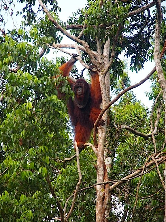 The big male #Toyo in the trees of #TanjungPuting, #CampLeaky. #Weltreise2014