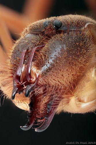 Camel spider (Solifugidae) | by andre de kesel