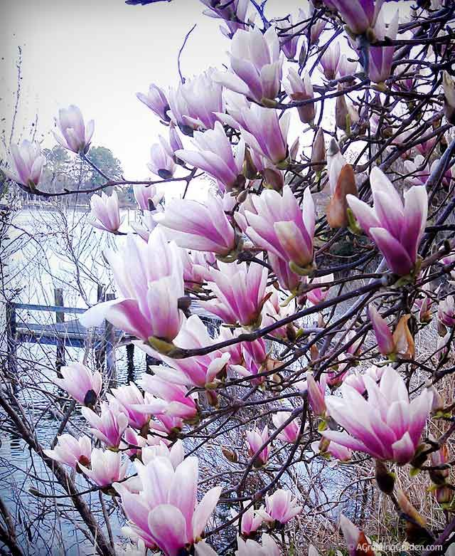 Japanese Magnolia Tree in Spring