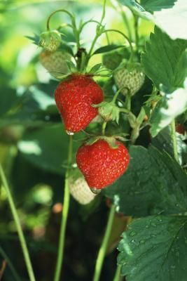 Strawberry plants can grow and produce fresh berries year-round in an indoor hydroponics system. There may be some limitations with the initial planting due to the availability of the strawberry ...