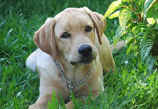 I consigli degli esperti per scoprire come curare al meglio il nostro labrador: dall'allevatore al veterinario, dal toelettatore al nutrizionista. http://www.arturotv.tv/cani/labrador-consigli-esperti