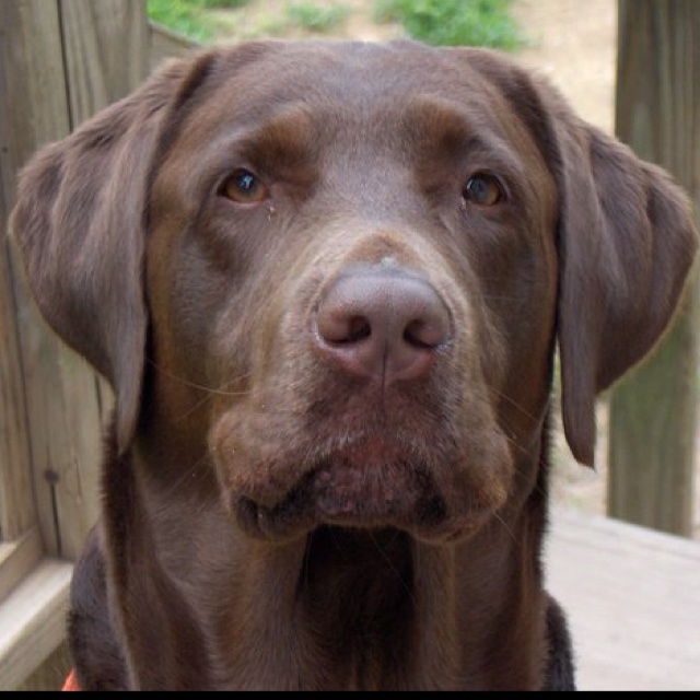 Chocolate lab. (Buck)