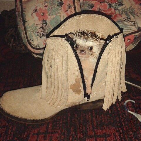 #animal #exotico #hedgehog