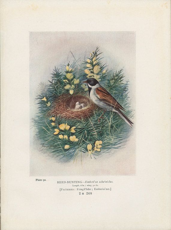 Reed Bunting. Bird's Nest and Eggs Antique by MarcadeVintagePrints