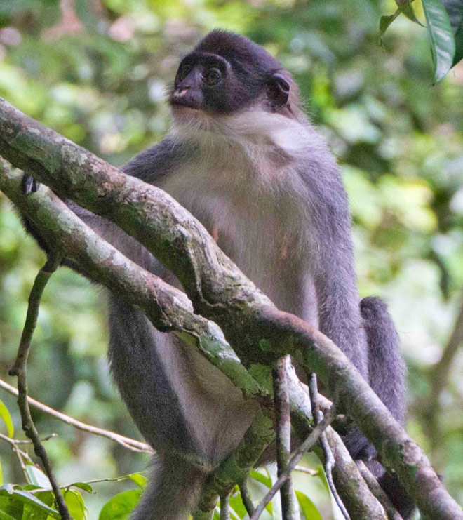 near-extinct Miller's grizzled #langur rediscovered in #borneo