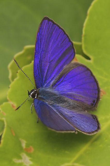 Ciliate Blue