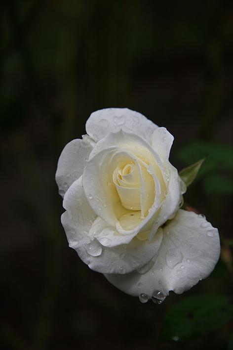 White Rose 1000
