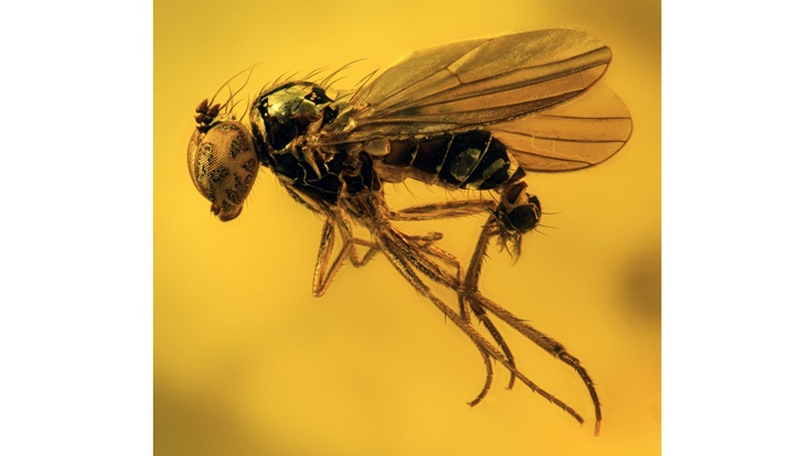 Esta mosca foi preservada em em âmbar báltico, que tem cerca de 40 milhões de anos. , o mundo o depósito de âmbar mais famoso. Âmbar é a resina fossilizada de árvores. O âmbar é capaz de preservar muitas espécies por anos a fio, quase como se tivessem sido capturadas há pouco tempo (Foto: Scott Ginn).