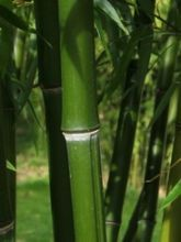 Jungle Giants Phyllostachys nigra Henonis | Jungle Giants
