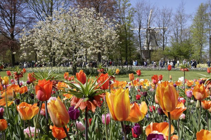 Viaggio di primavera ad Amsterdam tra tulipani e mulini a vento  - Gioia.it