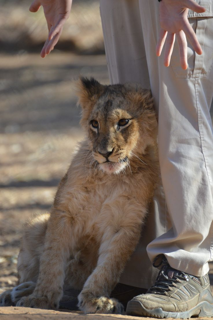 A little lion cub that was taken away from people who had bought her privately and fed her incorrectly so she is very small, they are getting her ready to enter the sanctuary to join the other cubs.