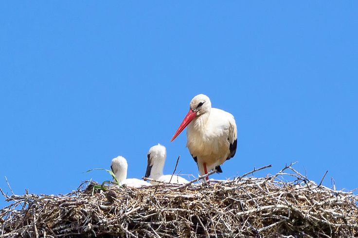 Storks nesting in Casa Flor de Sal, Moncarapacho, Portugal