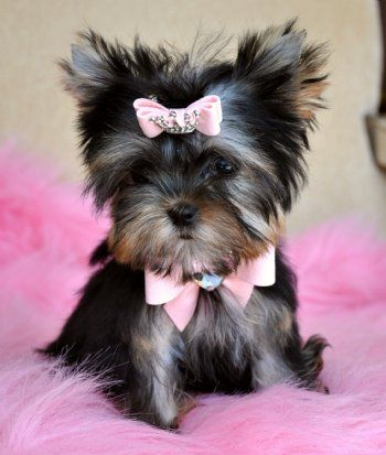 Ready for Valentine's Day with her Crystal Heart and Pink Bows ~ Rare True Blue and Gold Micro Teacup Yorkie