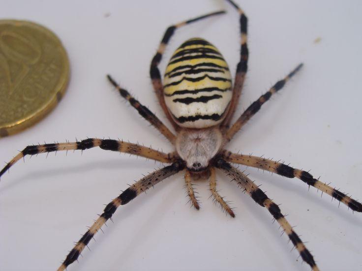 25 best ideas about araign e frelon on pinterest piege. Black Bedroom Furniture Sets. Home Design Ideas